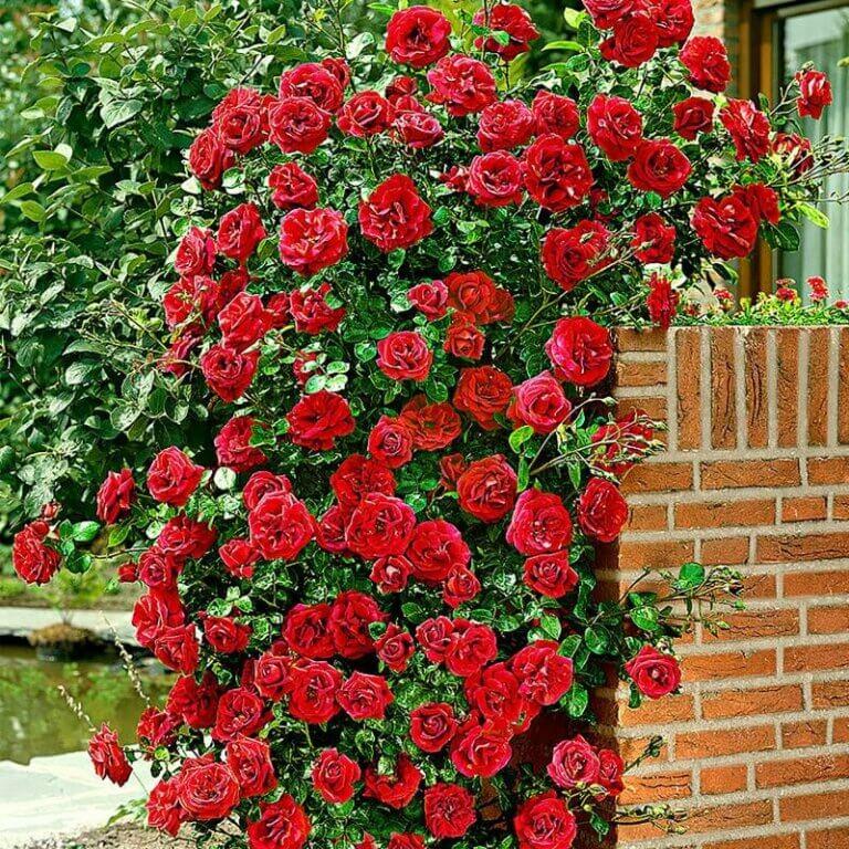 Santana - кроваво-алая плетистая роза от Tantau