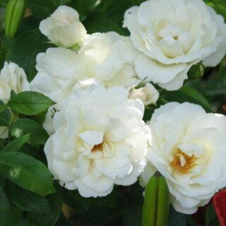 Carte Blanche – пышная флорибунда нежной белой окраски полумахровой формы от Meilland