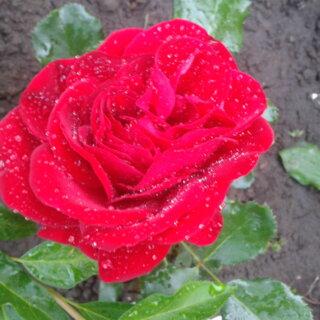 Ulmer Munster – яркие розы разновидности шраб, цветущие шикарными кистями от Kordes