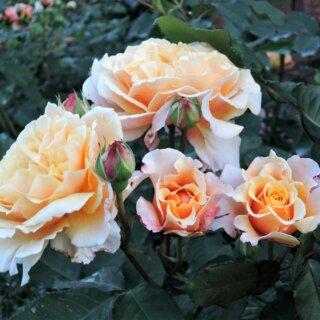 Caramella — шраб с янтарными розами от Kodes