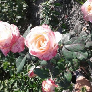 Belle Perle – чайно-гибридная роза кремового цвета с розовыми разводами от компании Delbard