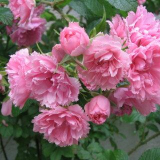 Pink Grootendorst – шиповник, относящийся к группе Ругоза