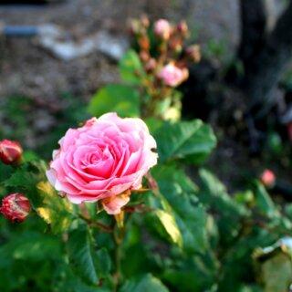 Крымская роза - украшение сада