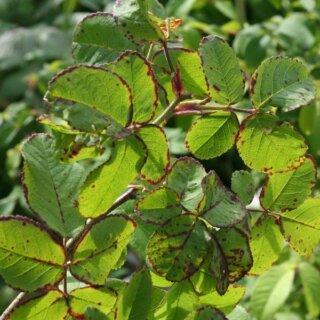 Вирус полосатости розы, причины возникновения