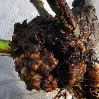 Бактериальные заболевания роз, виды и причины возникновения