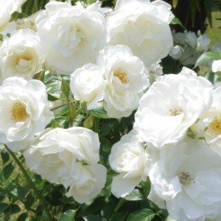 Iceberg – плетистый кустарник с множеством белоснежных открытых чашевидных роз из Великобритании