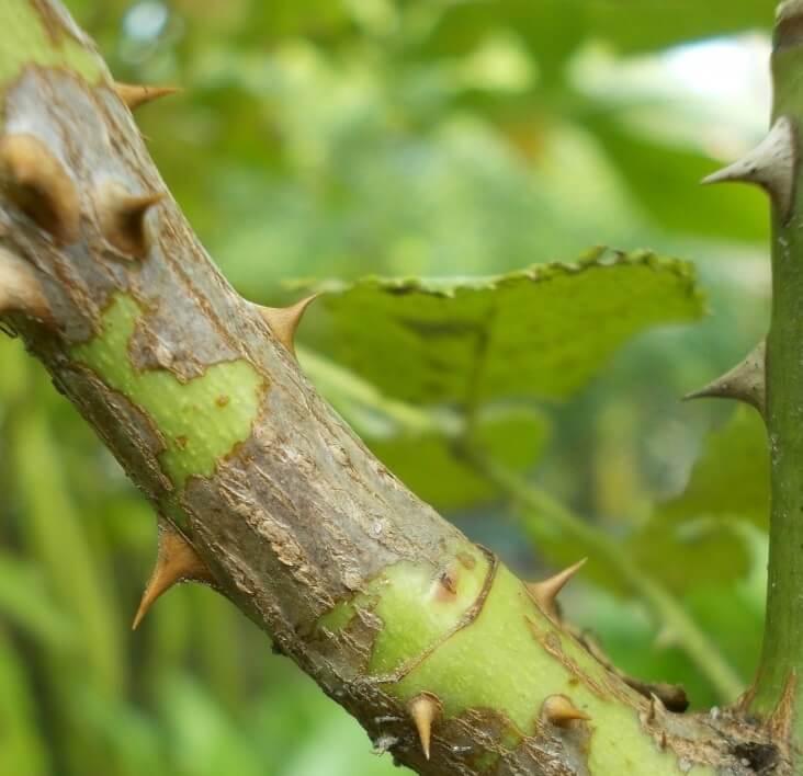 Диапортовый рак стеблей роз