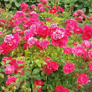 Моя первая любимица роза Heidetraum