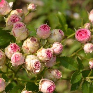 Mimi Eden – двухцветная спрей-роза на миниатюрном кустарнике от Meilland