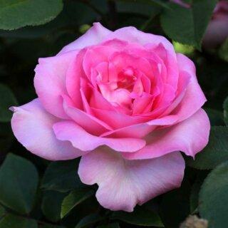 Beverly – классическая чайно-гибридная роза нежного розового оттенка от Kordes