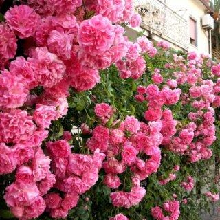 Любимые плетистые розы