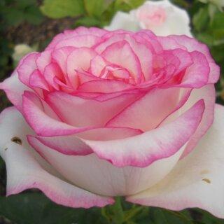 Dolce Vita – чайно-гибридная белая роза с розовой окантовкой на лепестках от голландской компании Lex Voom