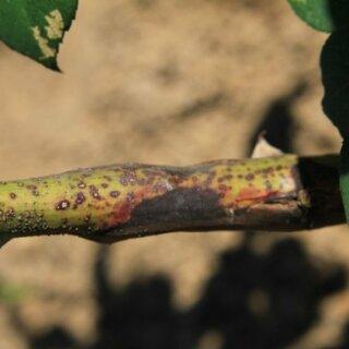 Бактериальный рак стеблей роз, причины возникновения