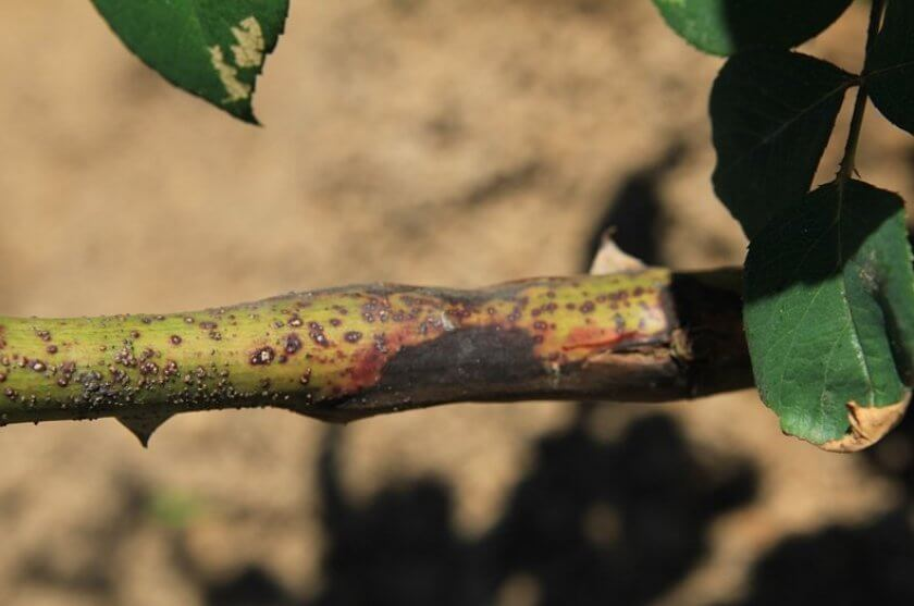 Бактериальный рак стеблей роз