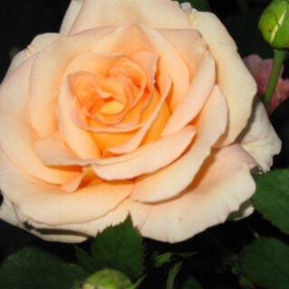 Versilia – изысканная чайно-гибридная роза нежного персикового цвета от компании NIRP International