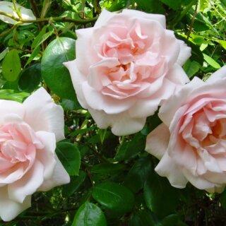 История завораживающей розы