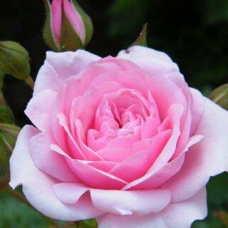 Royal Bonica – шраб с розовыми цветами от компании Meilland