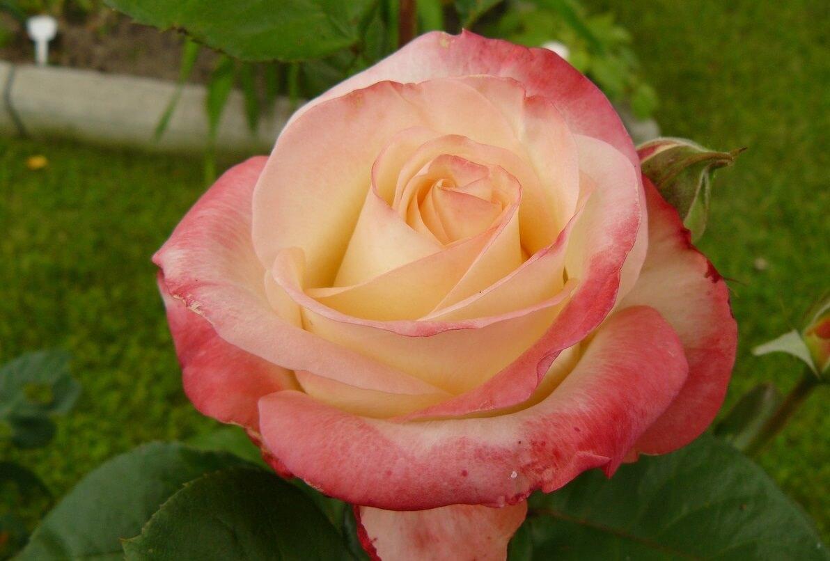 Белла Перла роза