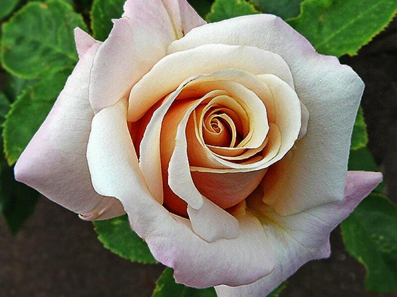 Поль Рикар роза