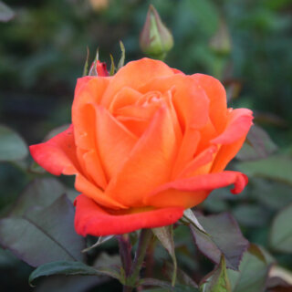Apache – яркая двухцветная чайно-гибридная роза от W. Kordes & Sons