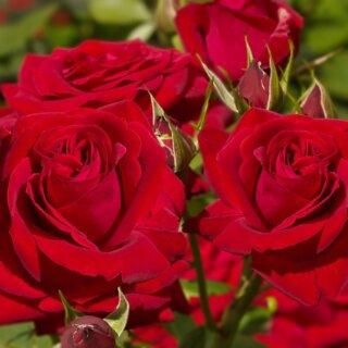 Sophia Loren – насыщенная красная чайно-гибридная роза от Mathias Tantau
