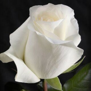 Anastasia – белая чайно-гибридная роза в форме тонкого бокала от NIRP International