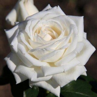 Boeing – величественная белая роза чайно-гибридной разновидности от Terra Nigra