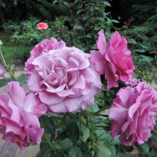 Прекрасный запах розы Виолетт Парфюм! Светлана, г.Луганск