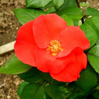 Robusta – красная простая роза семейства ругоза с неширокой кроной от Kordes
