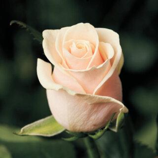 Talea – чайно-гибридная роза от Lex Voorn, которая непредсказуемо меняет оттенок свой окраса