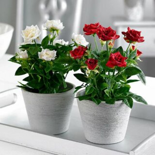 Роза Кордана - красива и дома и в саду
