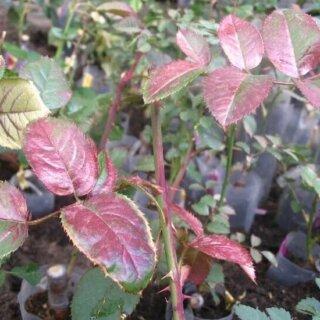 Вирус некроза табака, причины возникновения болезни роз