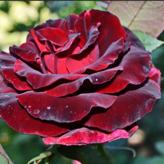 Black Magic – чайно-гибридная роза с тёмной, глубокой окраской от Tantau