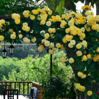 Casino – плетистая роза клаймбер с жёлтыми цветами из Ирландии