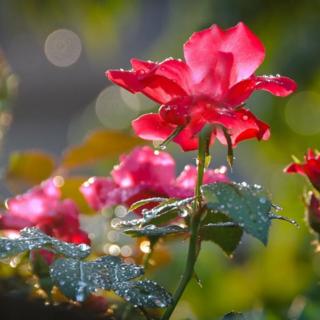 Сорта роз, которые более устойчивы к дождю