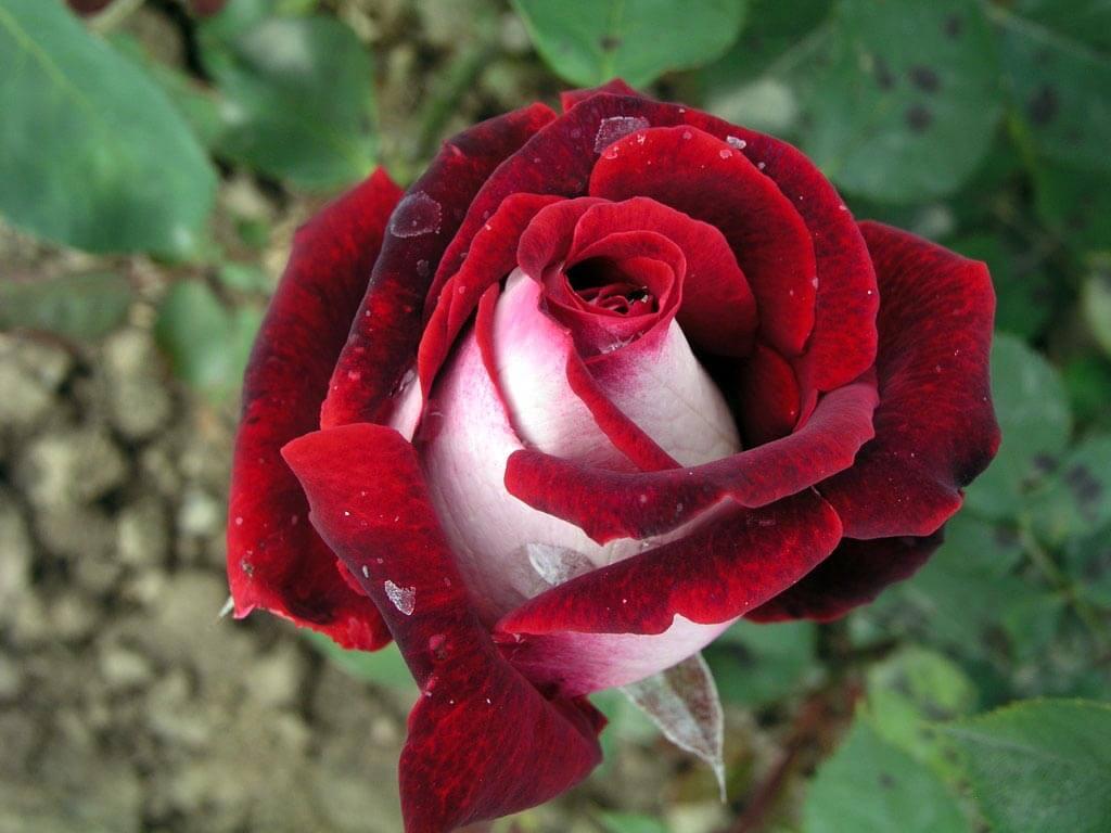 Осирия роза