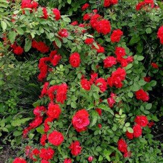 Выращивание плетистой розы сорт Santana