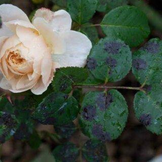 Неинфекционные болезни роз, виды и причины возникновения