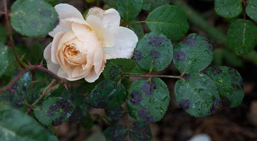 Роза болеет