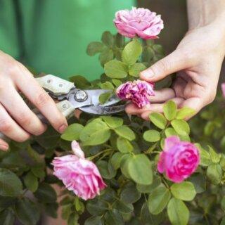 Как правильно обрезать отцвевшие бутоны роз