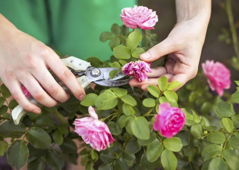 Обрезка отцвевших бутонов роз