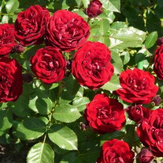 Моя любимая красная роза Lavaglut