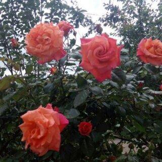 Новая фотография от посетителя к сорту Rene Goscinny пышная роза от селекционеров дома Meiland