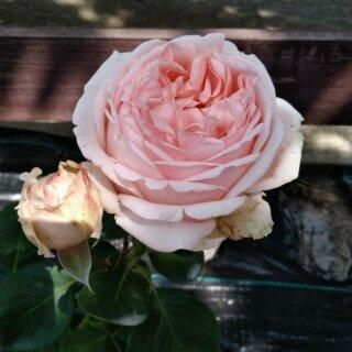 Новая фотография от посетителя к сорту Antico Amore – пышная чайно-гибридная роза мягкого розового цвета от селекционера Barni