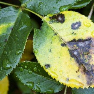 Пятнистости листьев роз, причины возникновения и последствия