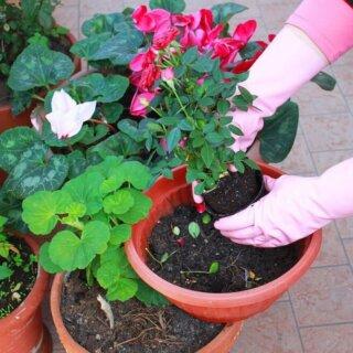 Можно ли выращивать горшечную розу в открытом грунте