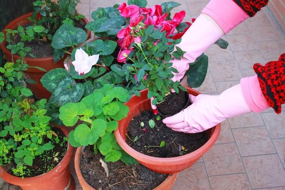 выращивать горшечную розу в открытом грунте