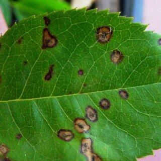 Филлостиктоз листьев роз, причины возникновения болезни