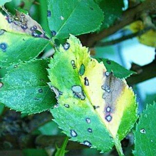 Песталоция розы, причины возникновения болезни