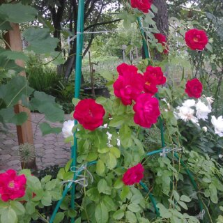 Мои дачные розы
